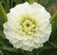 Die weiße Dahlienblüte ist was ganz besonderes