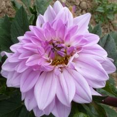hell weißblaue Blüte