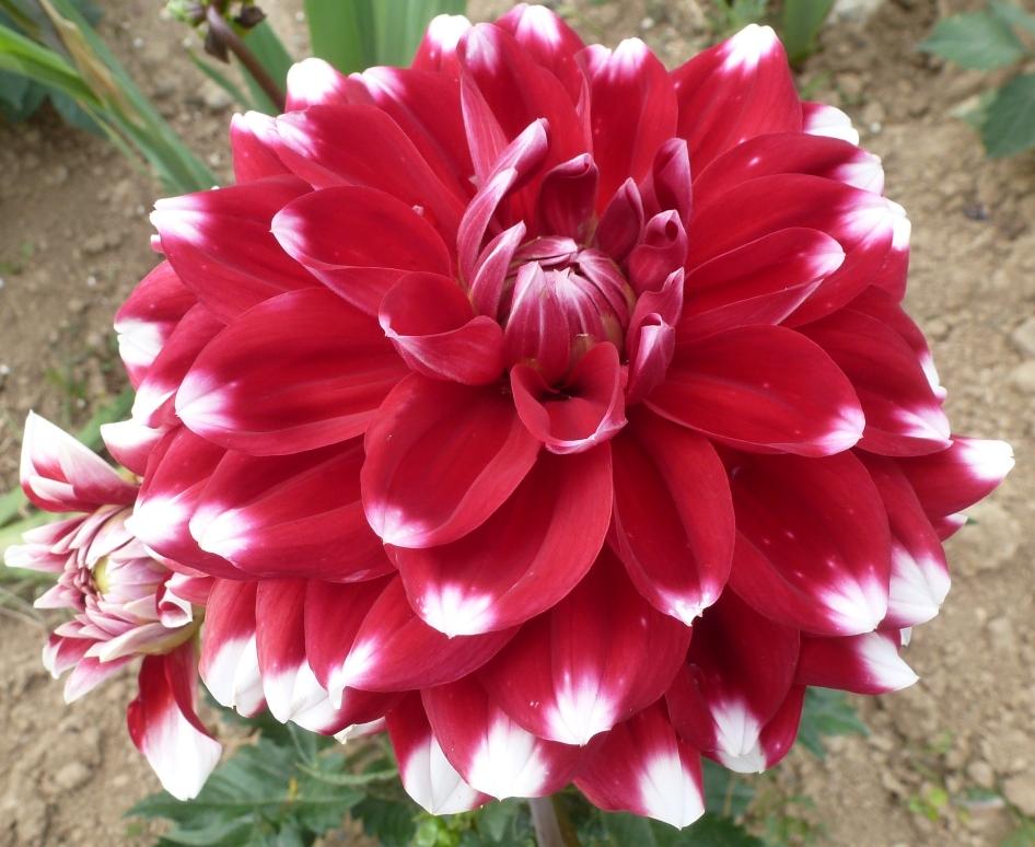 Rote Dahlie mit weißen Spitzenblüten