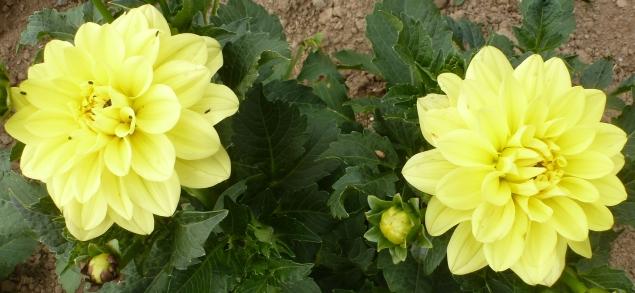 Gelbe Doppel Dahlienblüte