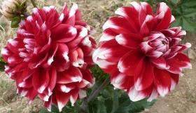 Wunderschöne Doppelblüte