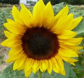 Sonnenblume in voller Pracht