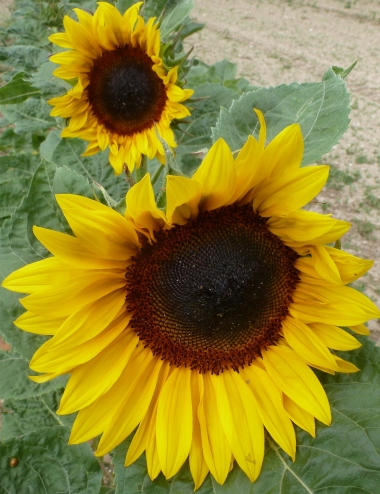große und kleine Sonnenblumen