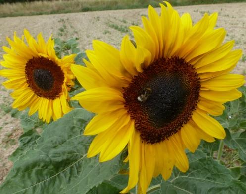 Sonnenblüte mit Biene