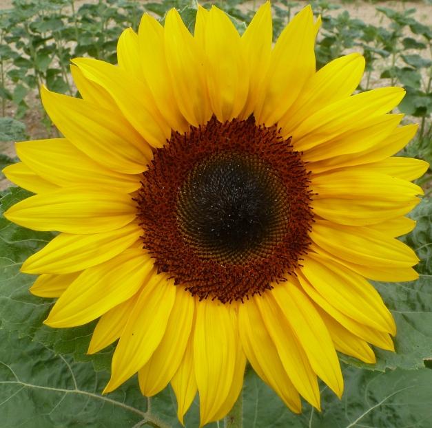 Sonnenblume in ihrer schönsten Pracht
