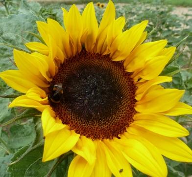 Sonnenblume hat Besuch von einer Hummel