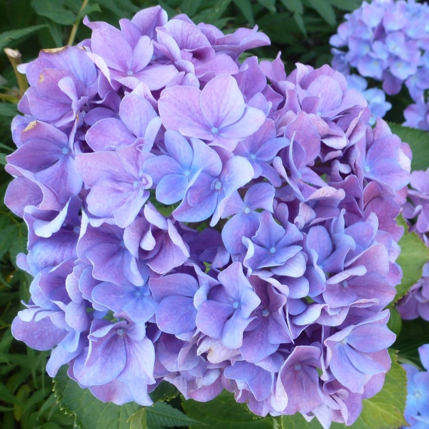 blaue Hortensienblüte