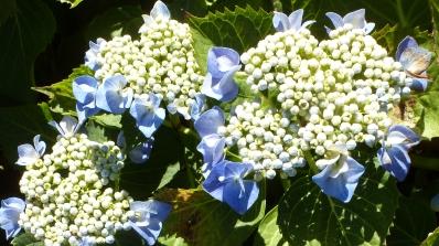 weiß blau Hortensie