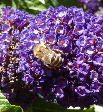 Schmetterlingsbaum mit Biene beim Nektar saugen