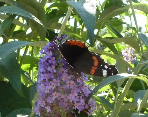 Der Schmetterlingsbaum