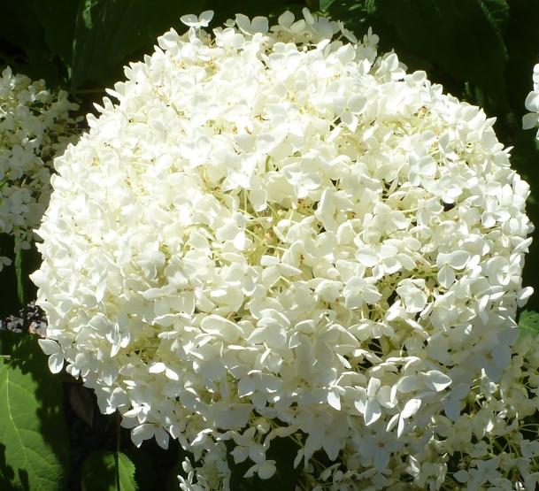 weiße Hortensie Kugelrund