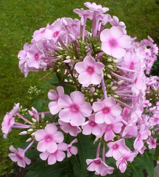 rosaner Blütenbusch