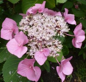 Doppelblüte Hortensie