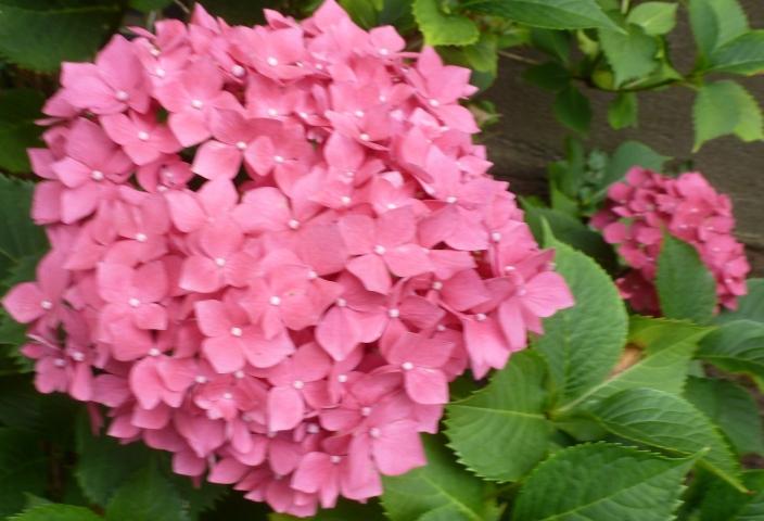 rosane Hortensie