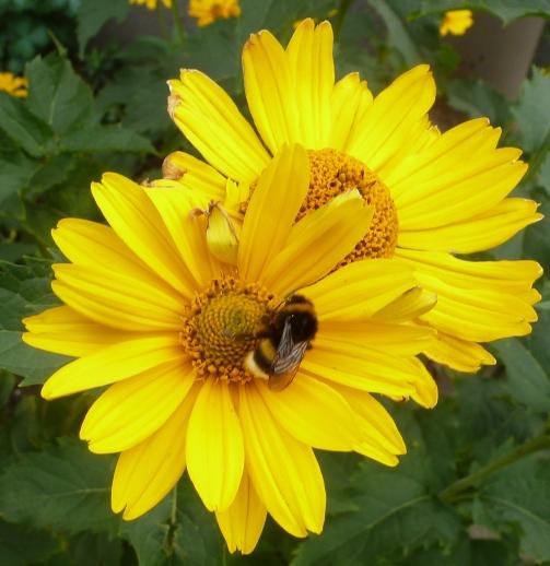 gelbe Margerite mit Biene