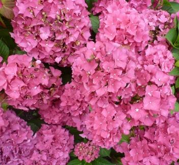Hortensienblütenbusch