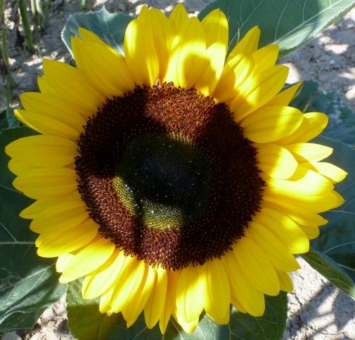 die Sonnenblume in voller Blüte