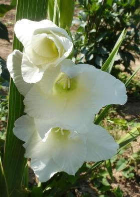 Weiße Gladiolen