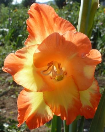 gelb-orange Gladiole