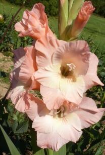hell rosa Blüten