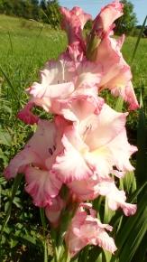 rosa weiße Blütenpracht