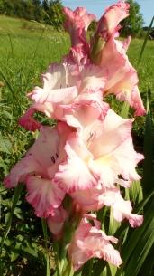 weiß rosa Gladiolenblüten