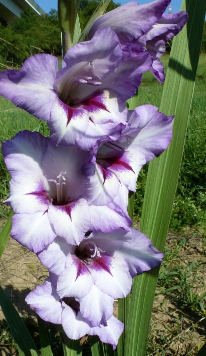 hell lila Gladiolenblüten einfach nur schön