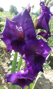 lila Gladiolenblüten