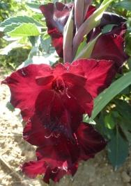 weinrote Gladiole