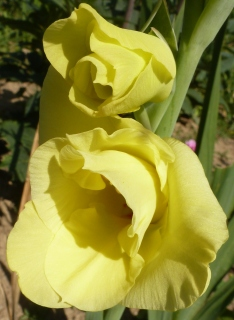 gelbe Gladiolenblüten