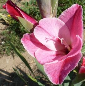 rosane Gladiolenblüte