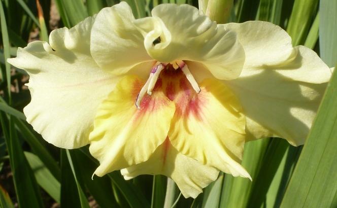 gelbe Gladiole