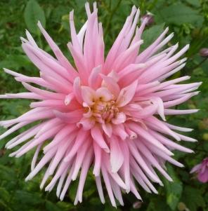 rosane besondere Dahlienblüte