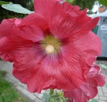 rote Malvenblüte