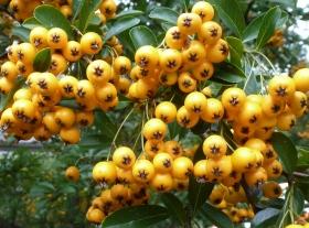 gelber Vogelbeerbusch