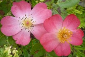 Verbenenblüten im Herbst