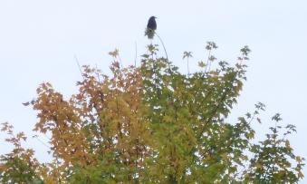 Krähe im Baum