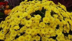 gelbe Winterastern