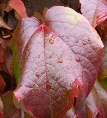 rotes Weinblatt mit Regentropfen