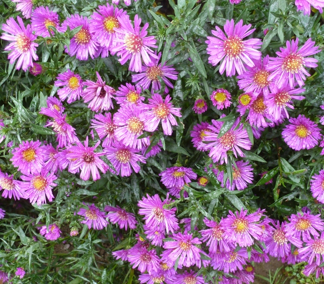 lilane Asternblüten