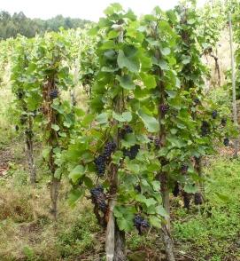 Dernauer Weinreben