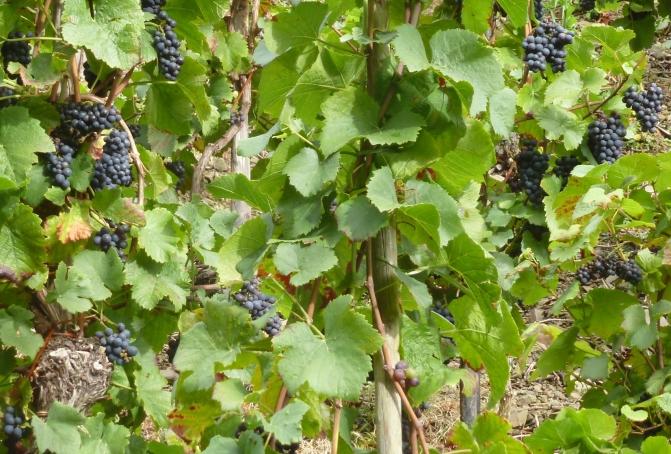 Ahr Rotweintrauben bei Dernau