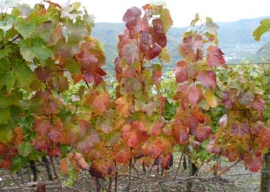 Weinrebenlaub in herrlicher Farbe