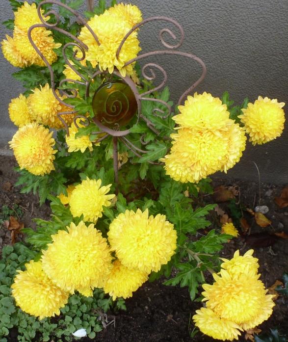 gelbe Herbstastern