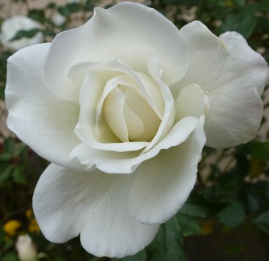 eine weiße Rose im November