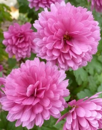 rosane Asterblüten