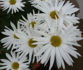 weiße Margeriten im Herbst