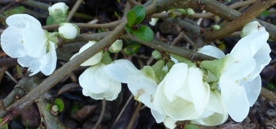 Weiße Buschröschen