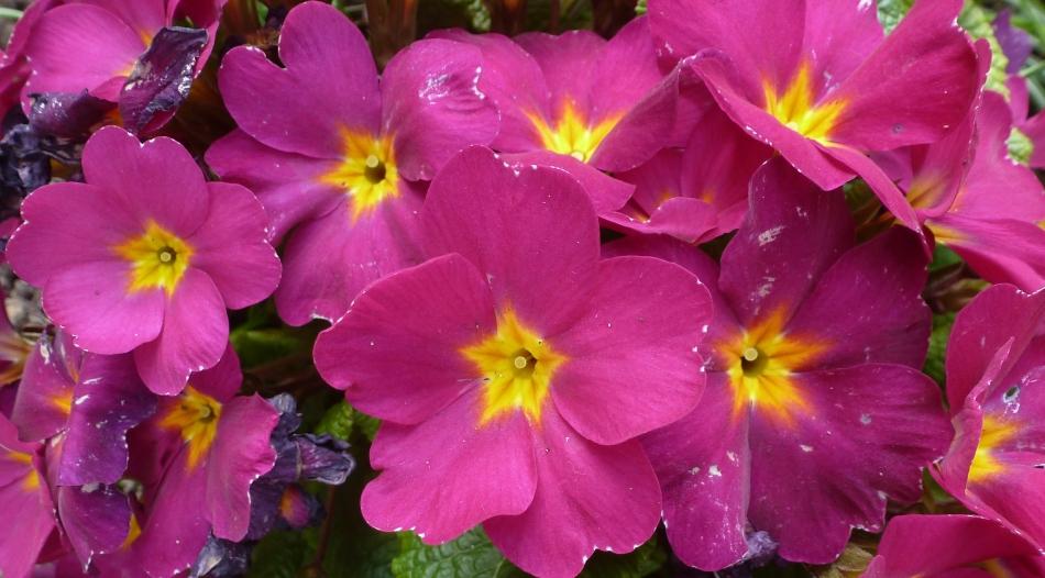 Lilane Primelnblüten