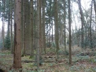 Der Tannenwald einfach schön